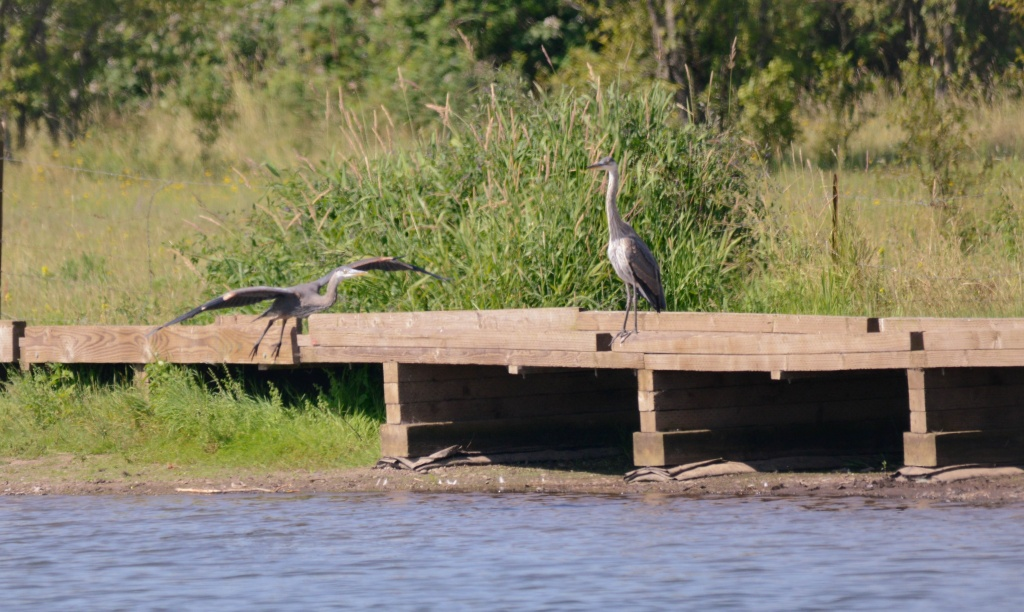 Herons Courting by jgpittenger