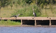 12th Jul 2012 - Herons Courting