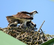 13th Jul 2012 - Protective Mother Osprey