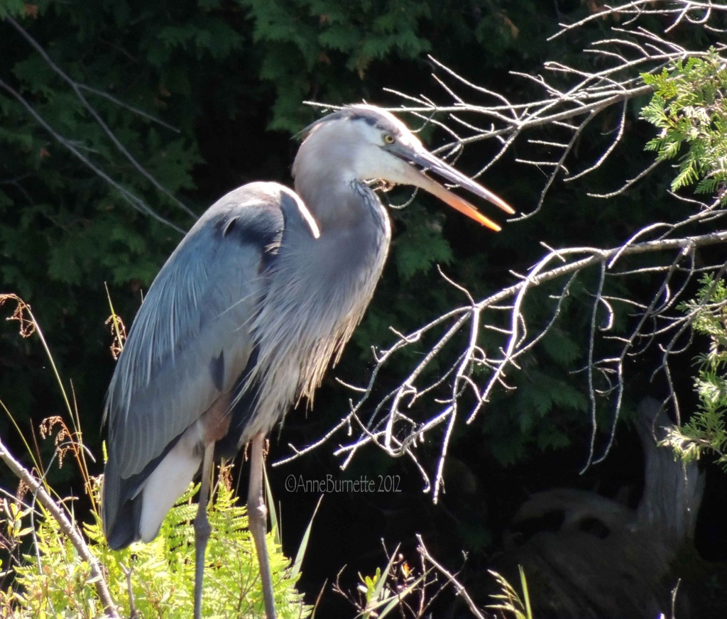 Great Blue Heron by sunnygreenwood