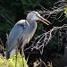 Great Blue Heron by sunnygreenwood