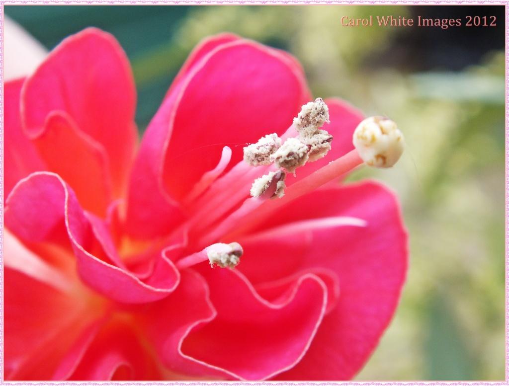 Fuchsia by carolmw