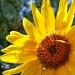 Sun Flower by herussell