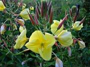 15th Jul 2012 - evening primrose