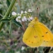 Orange Sulphur by dmariewms