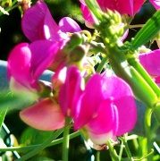 12th Jul 2012 - Sweet peas