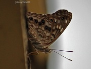 14th Jul 2012 - Another Butterfly