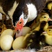 Baby ducks by danette