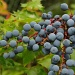 Oregon Grape (part 2) by vickisfotos
