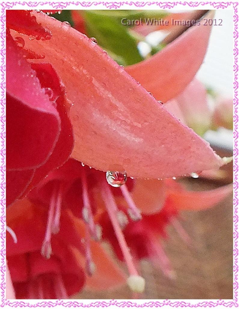 Fuchsia In A Raindrop by carolmw