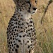 cheetah by lwain