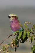 11th Jul 2012 - A lilac breasted roller.