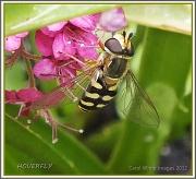 18th Jul 2012 - Hoverfly