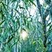 Melaleuca leucadendron by corymbia