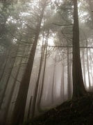 18th Jul 2012 - Cedar Trees in the Mist