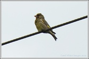 20th Jul 2012 - Greenfinch