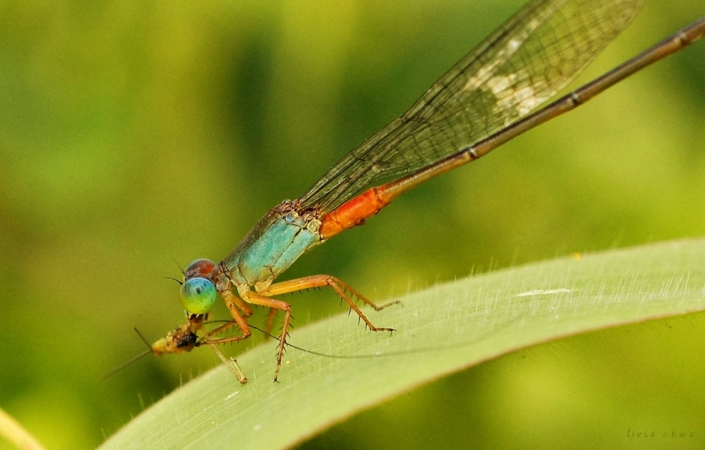 How Not To Shoot A Damselfly by myautofocuslife