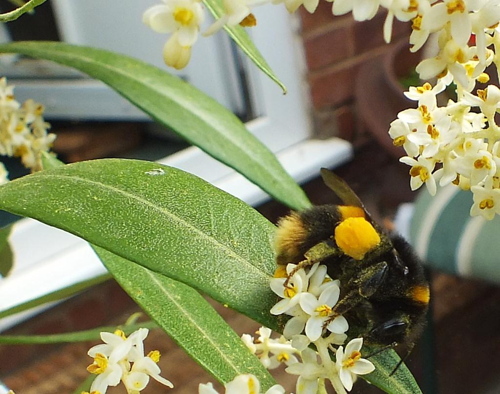 Bumble Bee by carolmw