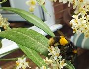 21st Jul 2012 - Bumble Bee
