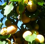 21st Jul 2012 - Ripe Apricots