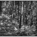 Trees B & W by judithdeacon