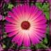 Mesembryanthemum by jmj
