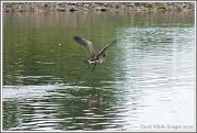 25th Jul 2012 - Canada Goose In Flight