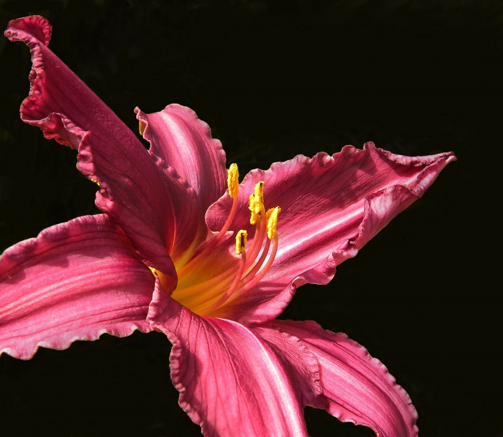 Yet another daylily --- pretty in pink. by sunnygreenwood