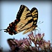 Is This A Swallowtail by digitalrn