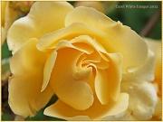 28th Jul 2012 - Wild Rose
