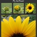 My sunflower by julie