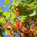 Red currants. by snowy