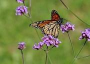 30th Jul 2012 - Monarch (?) on Purple Flowers