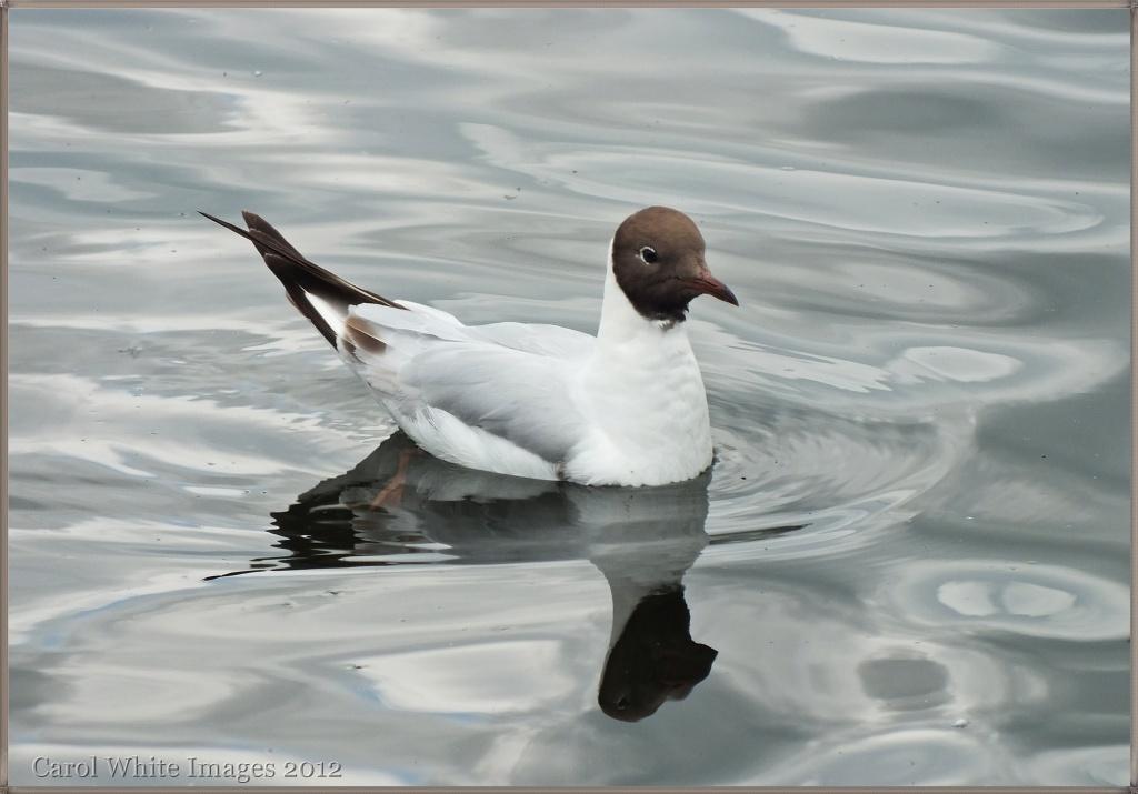 Black-Headed Gull by carolmw