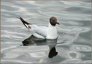31st Jul 2012 - Black-Headed Gull