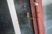 31st Jul 2012 - I caught a dragonfly