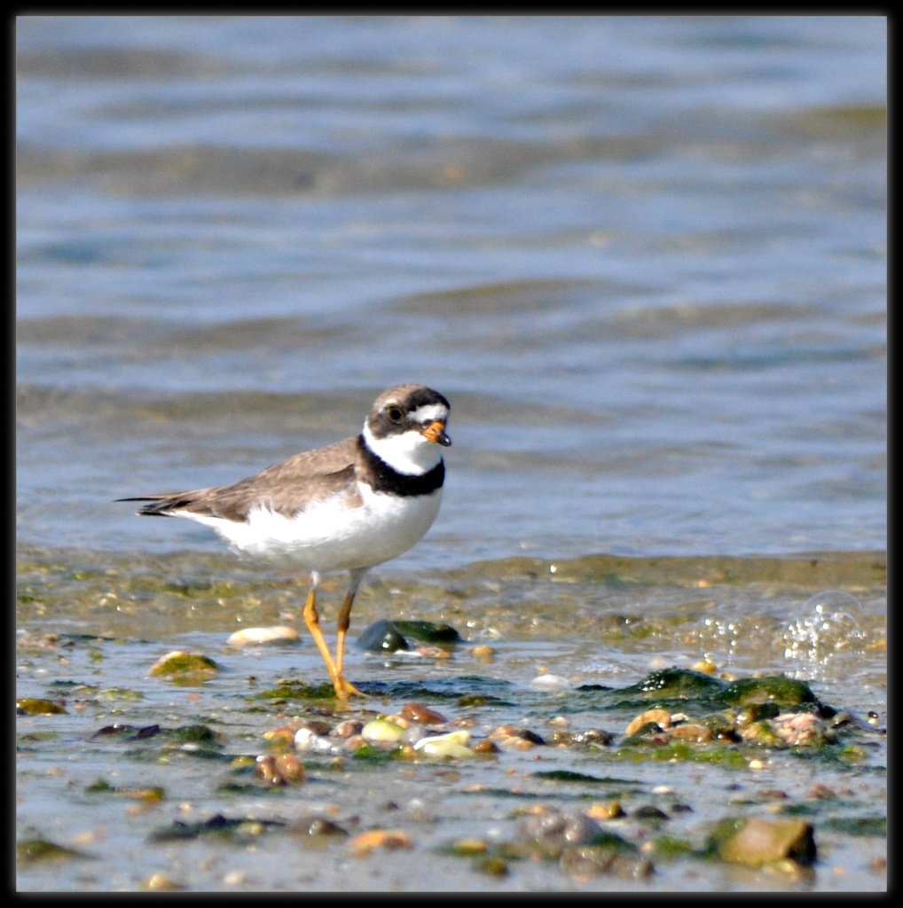 Semipalmated plover by sailingmusic