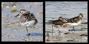 1st Aug 2012 - Semipalmated sandpipers