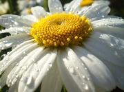 2nd Aug 2012 - Daisy