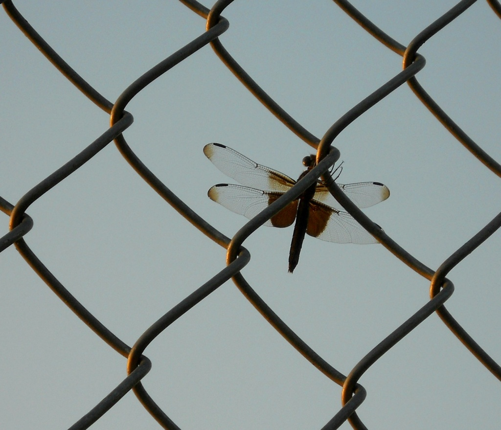Dragonfly on the fence by mittens