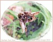 4th Aug 2012 - Aquilegia Seed Head