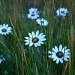 Wild Daisies by salza