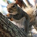 06/08/2012 - Gray Squirrel
