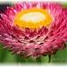 hot pink & spiky by mjmaven