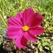 Cosmos Flower by julie