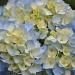 Hydrangea by overalvandaan
