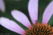 """1st Aug 2012 - Two-fer: Female """"Macrocentrid"""" on cone flower"""