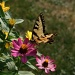 Butterfly enjoying a flower by mittens