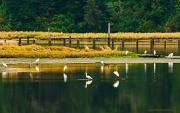 8th Aug 2012 - Crashing a White Egret Party