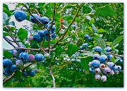 8th Aug 2012 - Blueberry picking was easy.